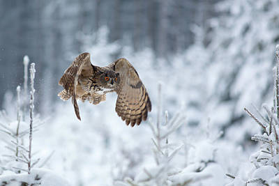 Cold Photograph - Eurasian Eagle-owl by Milan Zygmunt