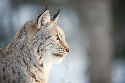 Lynx Wall Art - Photograph - Eurasian Lynx by Dr P. Marazzi/science Photo Library