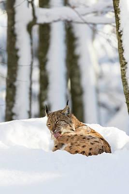 Lynxes Photograph - Eurasian Lynx (lynx Lynx by Martin Zwick