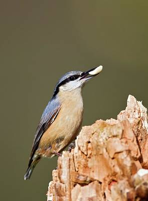 Nuthatch Wall Art - Photograph - Eurasian Nuthatch With A Peanut by John Devries/science Photo Library