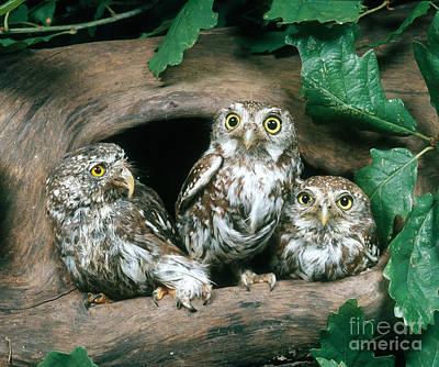 Pygmy Owl Wall Art - Photograph - Eurasian Pygmy Owls by Hans Reinhard