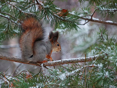 Jouko Lehto Royalty-Free and Rights-Managed Images - Eurasian red squirrel by Jouko Lehto