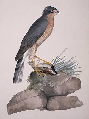 Sparrowhawk Photograph - Eurasian Sparrowhawk, 19th Century by Science Photo Library