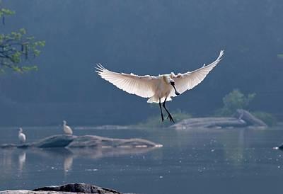 Spoonbill Photograph - Eurasian Spoonbill Landing by K Jayaram