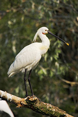 Spoonbill Photograph - Eurasian Spoonbill Or Common Spoonbill by Martin Zwick