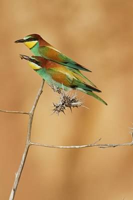 Bird Watching Photograph - European Bee-eater (merops Apiaster) by Photostock-israel