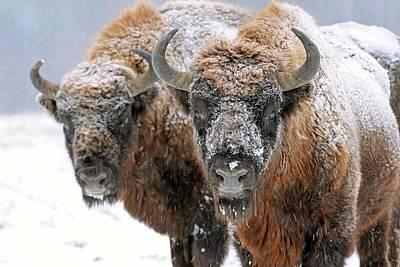 European Bison In Snow Art Print by Bildagentur-online/mcphoto-schulz