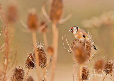 Photograph - European Goldfinch by Jean-Luc Baron