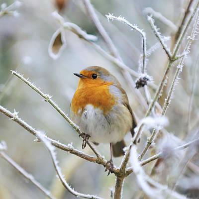 Ice On Branch Photograph - European Robin by John Daniels