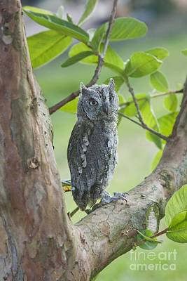 Birds Of Israel Photograph - European Scops Owl Otus Scops by Eyal Bartov