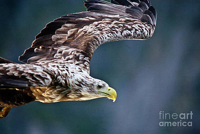 Ailing Photograph - European Sea Eagle by Heiko Koehrer-Wagner