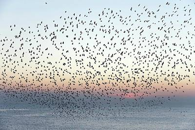 Starlings Wall Art - Photograph - European Starling Flock by Dr P. Marazzi/science Photo Library