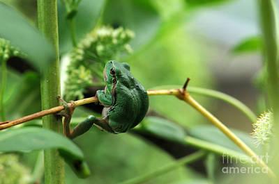 Frogs Photograph - European Treefrog by Reiner Bernhardt