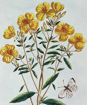 Butterfly Painting - Evening Primrose by Pierre Joseph Buchoz