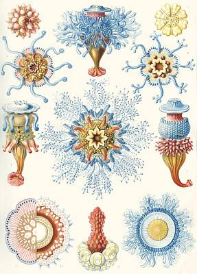 Tentacles Drawing - Examples Of Siphonophorae by Ernst Haeckel