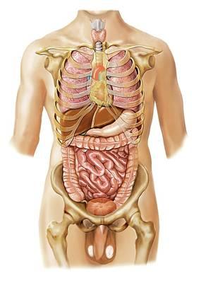 Internal Organs Photograph - External Projection Of Internal Organs by Asklepios Medical Atlas