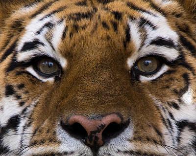 Siberian Tiger Photograph - Eye Contact by Ernie Echols