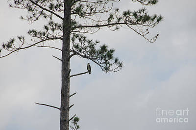 Photograph - Falcon by Cassie Marie Photography