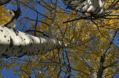 Photograph - Fall Aspen by Frank Madia