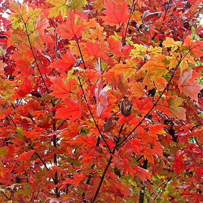 Photograph - Fall Maple Leaves by Duane McCullough