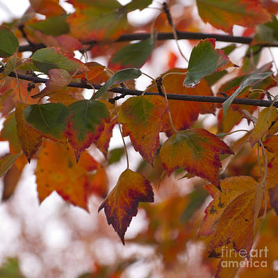 Ethereal - Fall Maple Leaves  by Mandy Judson