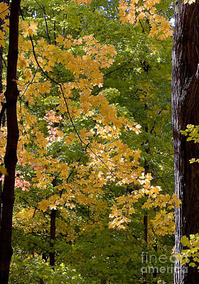 Photograph - Fall Maples by Steven Ralser