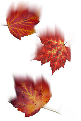Photograph - Falling Maple Leaves by Scott Camazine