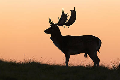 Fallow Deer Buck At Sunset Denmark Art Print by Duncan Usher