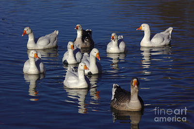 Animals Royalty-Free and Rights-Managed Images - Family Goose by Jeremy Hayden