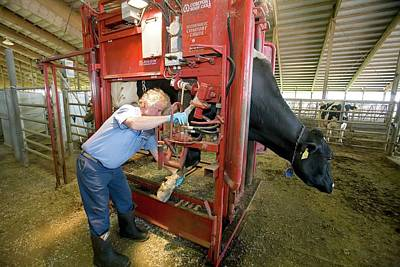 Checking Photograph - Farmer Checking A Cow's Hoof by Jim West