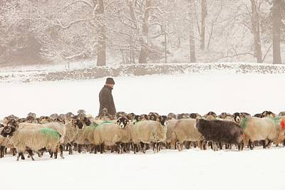 Snow Covered Fields Photograph - Farmer Feeding Sheep In Winter by Ashley Cooper