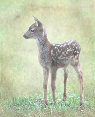 Photograph - Fawn by Angie Vogel