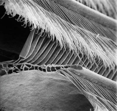 Microscope Image Photograph - Feather by Natural History Museum, London