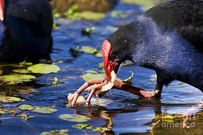 Feeding Red Billed Coot Bird Art Print