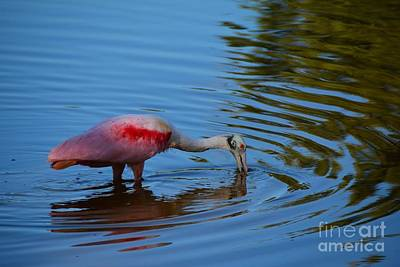 Spoonbill Digital Art - Feeding Time by Edna Weber