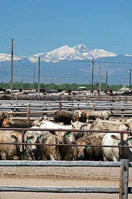 Bos Taurus Photograph - Feedlot Cattle by Jim West