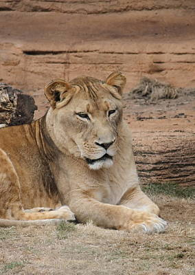 Predator Photograph - Female African Lion by Cathy Lindsey