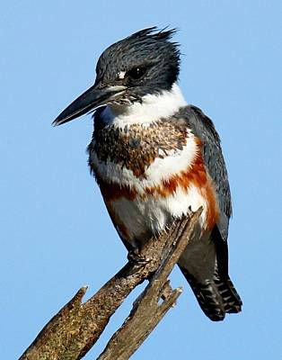 Photograph - Female Belted Kingfisher by Ira Runyan