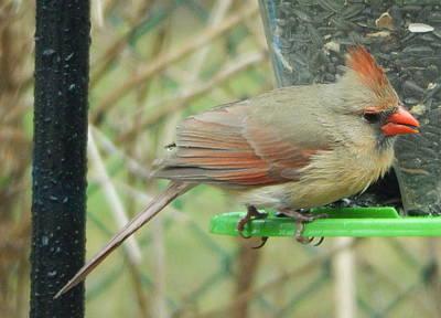 Photograph - Female Cardinal by Betty-Anne McDonald