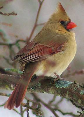 Photograph - Female Cardinal by Bruce Bley