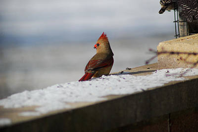 Photograph - Female Cardinal In Winter by Wanda Jesfield
