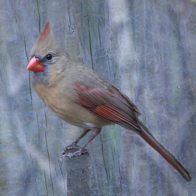 Female Cardinal Art Print by John Kunze
