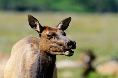 Photograph - Female Elk by Walt Sterneman