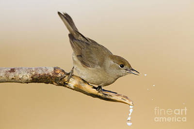 Blackcap Photograph - female Eurasian Blackcap by Eyal Bartov