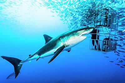 Shark Photograph - Female Great White Shark, Carcharodon by David Doubilet
