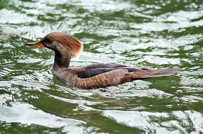 Photograph - Female Hooded Merganser Duck by Terry Elniski