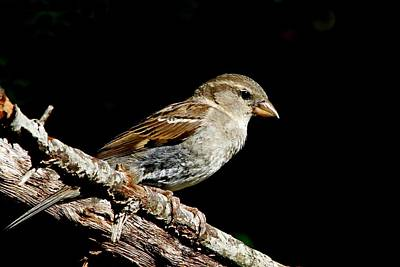 Photograph - Female House Sparrow by Ira Runyan