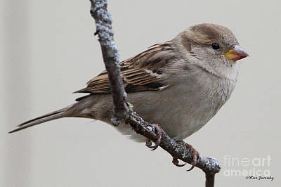 Photograph - Female House Sparrow by Steve Javorsky