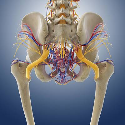 Female Pelvic Anatomy, Artwork Art Print by Science Photo Library