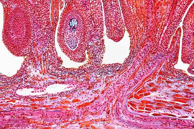 Ovule Photograph - Female Pine Cone by Antonio Romero